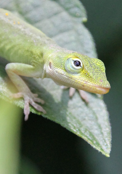 Green Anole 5