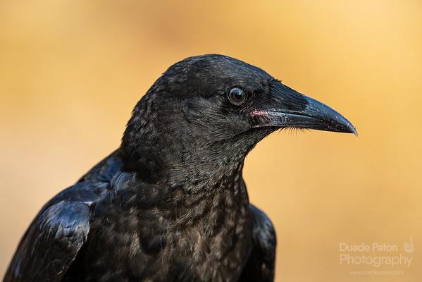 Little Raven