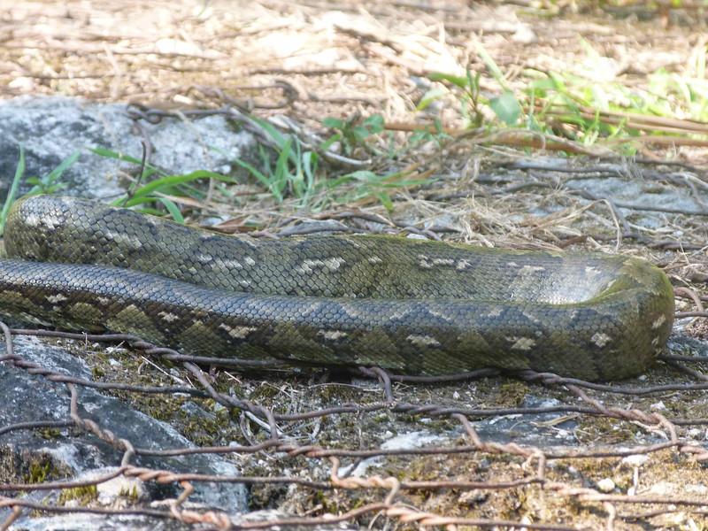 HPMadagascarTreeBoa132 Nov. 11, 2010  3:45 p.m.  P1000132 Madagascar Tree Boa, Sanzinia madaagascariensis, suns itself. Ranomafana living in rocks below riprap near culvert.  Large snake as big through as your arm.
