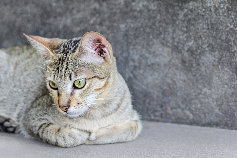 Light Brown and Grey Striped Cat Laying Down on the Streets of Phnom Penh, Cambodia