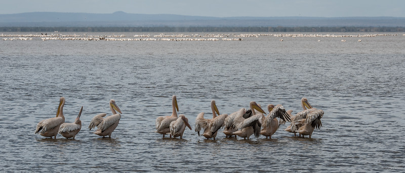 Lake Manyara African white pelicans and flamingoes-2355.jpg