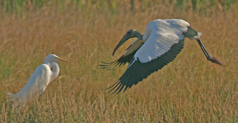 WB~Florida Wood Stork landing near Egret1280.jpg