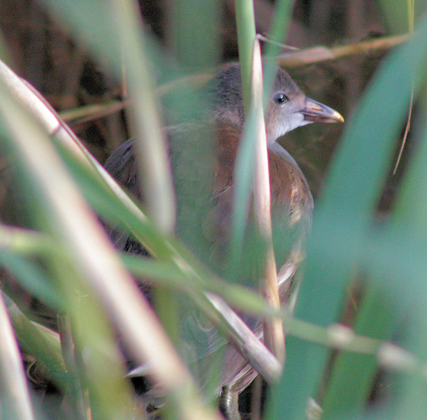 Shy bird