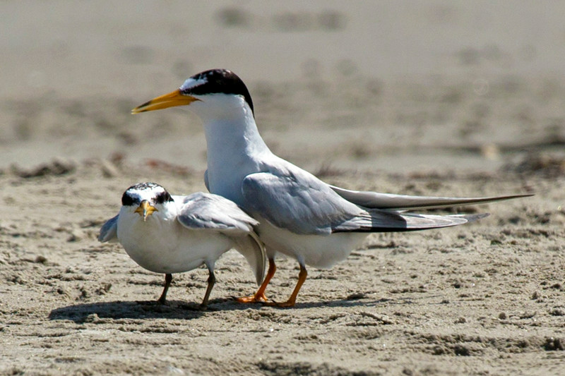 Another look at our two Least Terns.