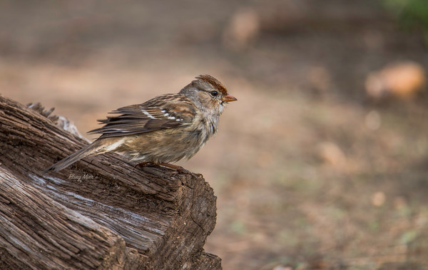 Lincoln Sparrow 2 LL_DWL4655.jpg