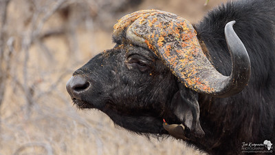The African or Cape Buffalo