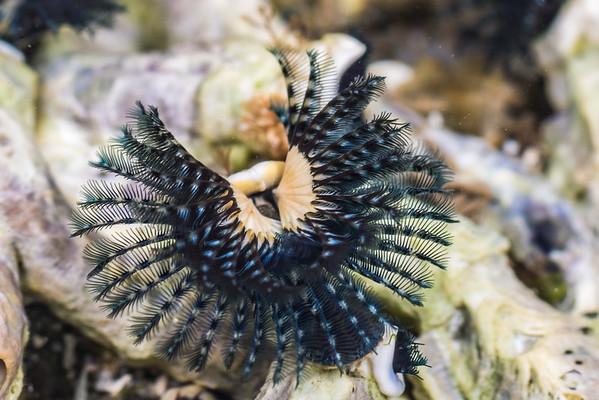 Spirobranchus cariniferus - blue tube worm