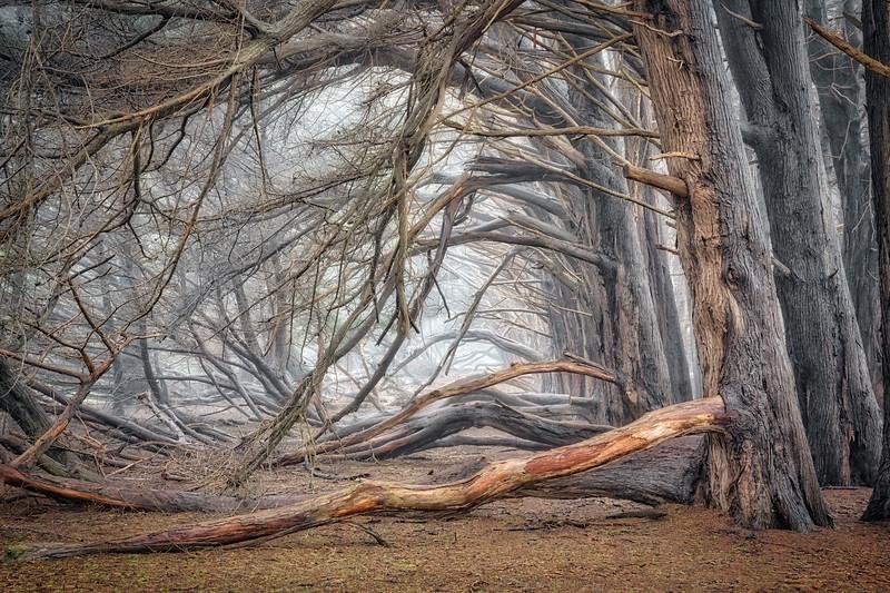 Mysterial Cypress, Sea Ranch, California