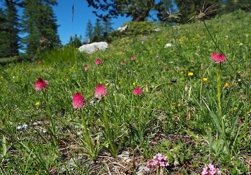 N. corneliana Col d'Izoard 03-07-16 (9).jpg