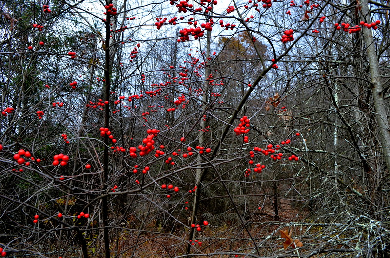 Very cool red berry trip in bloom