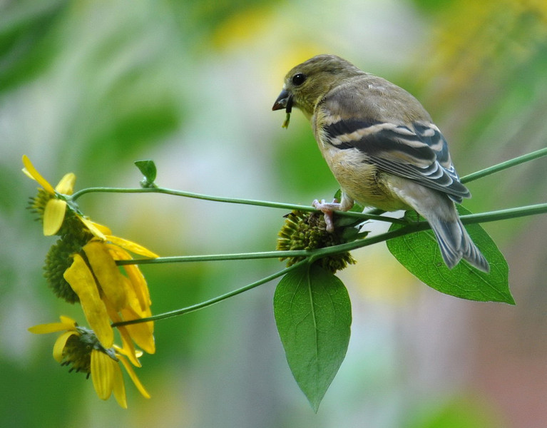Nature Snacking Finch.jpg