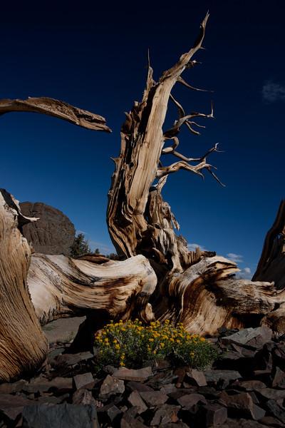 ancient-pine.jpg