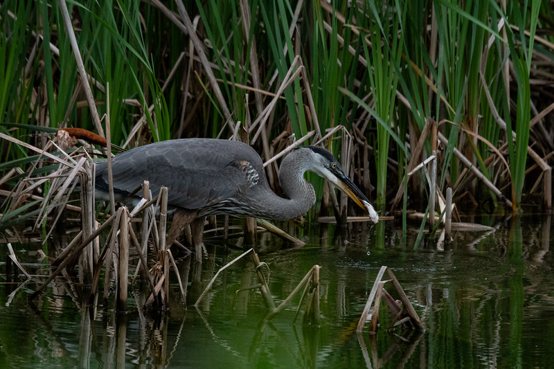 Great Blue Heron fishing 1