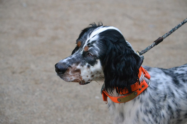 """AKC Field Trial Pointing Breed Hunting Dog """"Sweet Biscuit"""""""