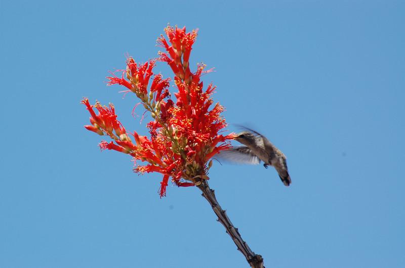 20130425_Hummingbird_003.JPG