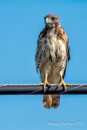 AM Red-tail Hawk 2015