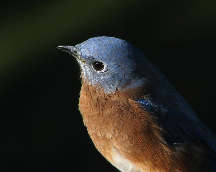 bluebird_5425.jpg