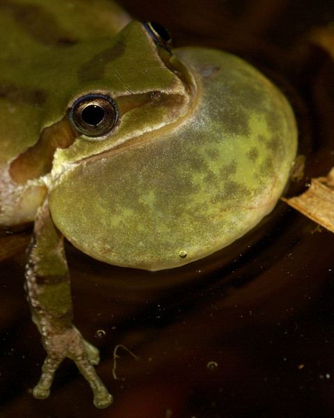 Pacific Treefrog croaking.