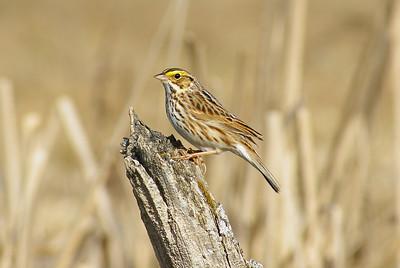 Sparrows & Allies