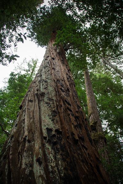Redwood-39.jpg