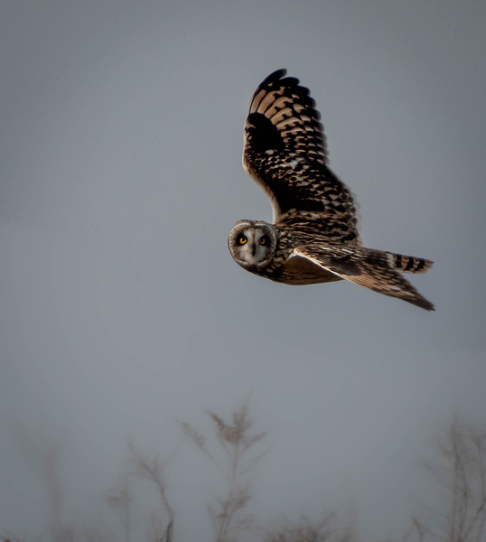Short-eared Owl looking at Me