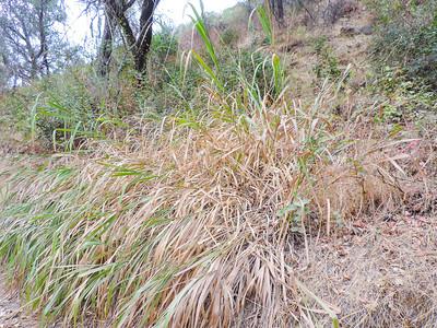 Giant Wild Rye (Elymus condensatus)