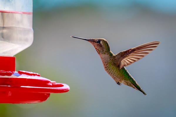 Hummingbirds November 2014