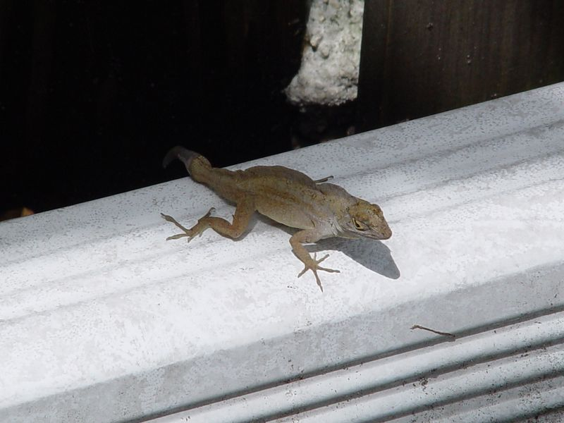 Brown Anole (Anolis sagrei)  (September 5, 2005)