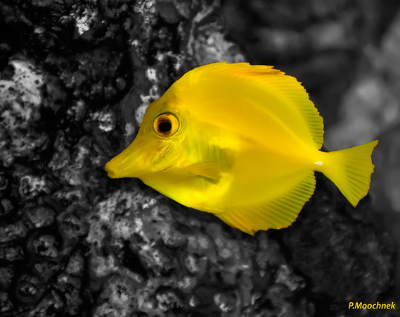 Yellow Tang at night