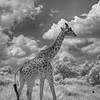 Infra red Masai giraffe