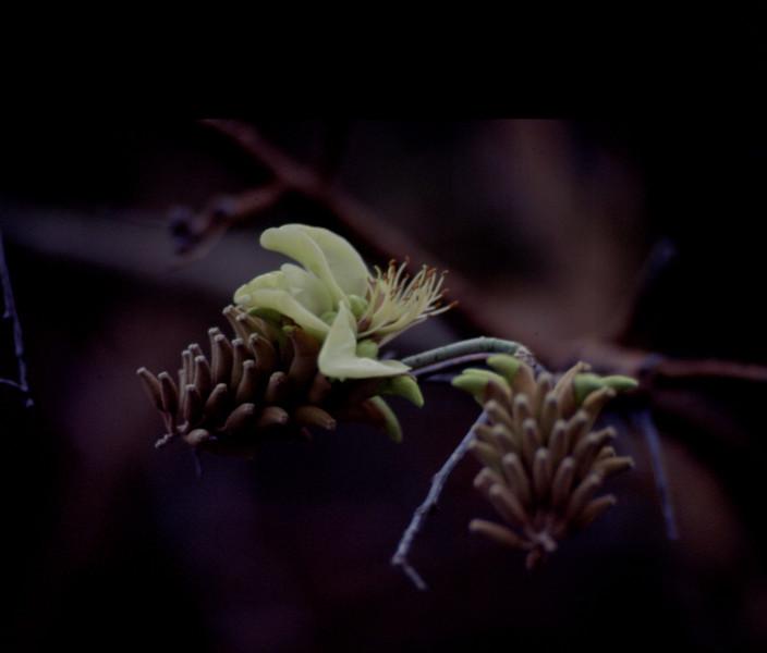 pt-dev19970918-21 - erythrina sandwicensis (white).jpg