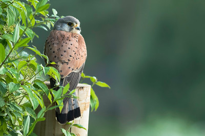 The Kestrel Tree