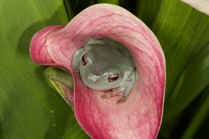 Australian Dumpy Treefrog
