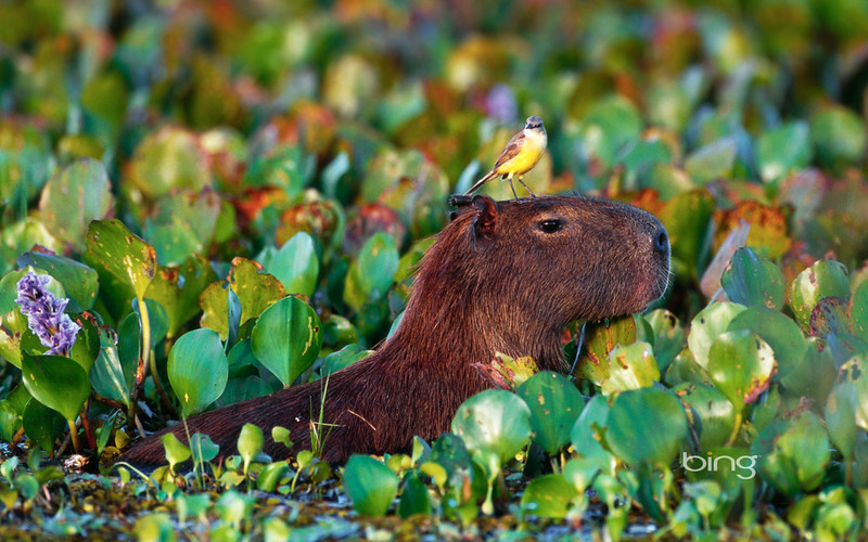 Bird perched atop a wading Capybara in Pantanal Matogrossense National Park, Brazil