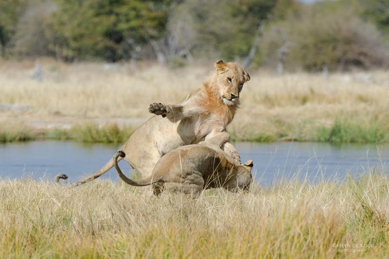 African Lions, Etosha NP, Namibia, July 2011.jpg