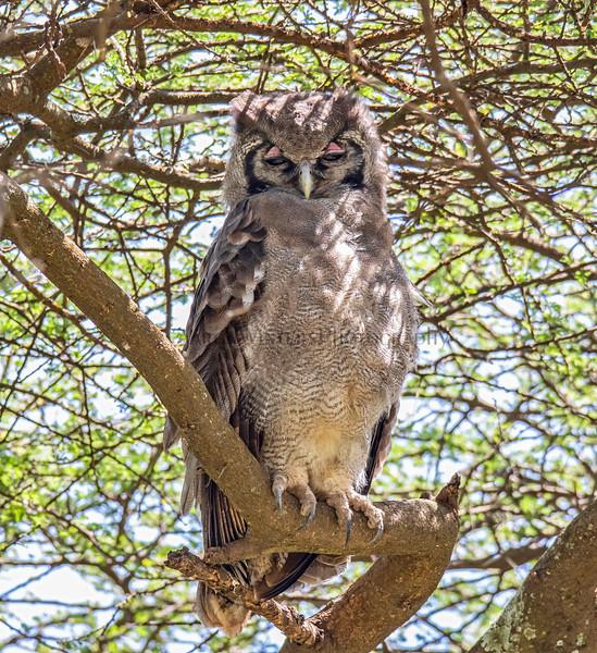 The Acacianal Owl 2019