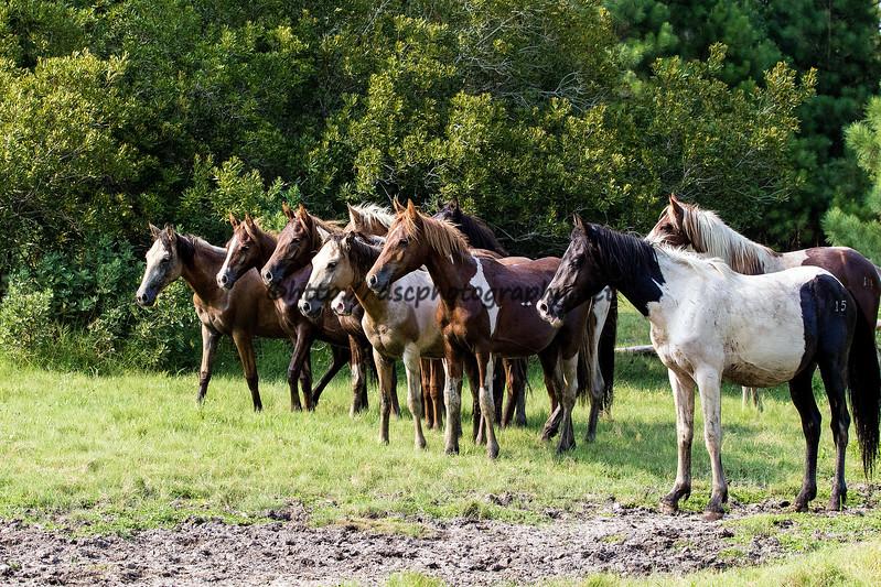2017 Pony Penning