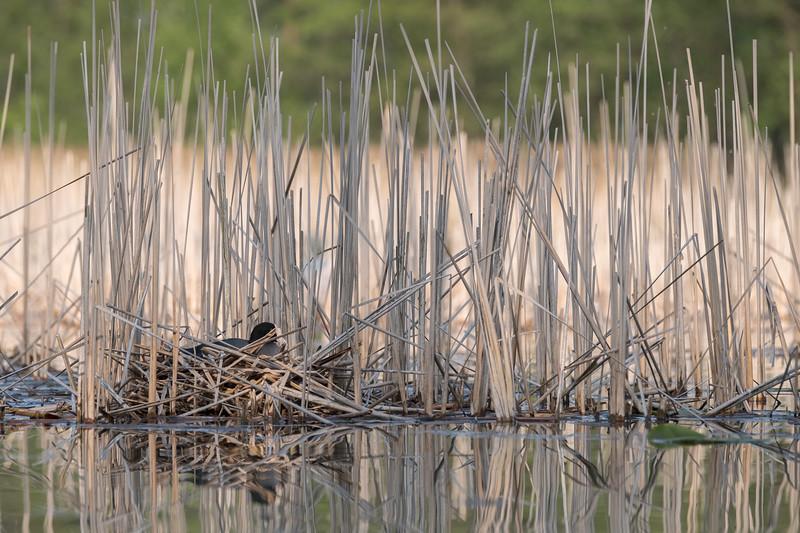 łyska | eurasian coot | fulica atra