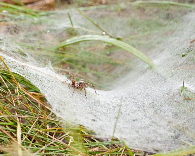 Ground Spider SC7618.jpg