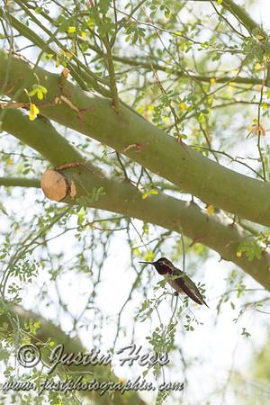 Palo Verde Hummingbird
