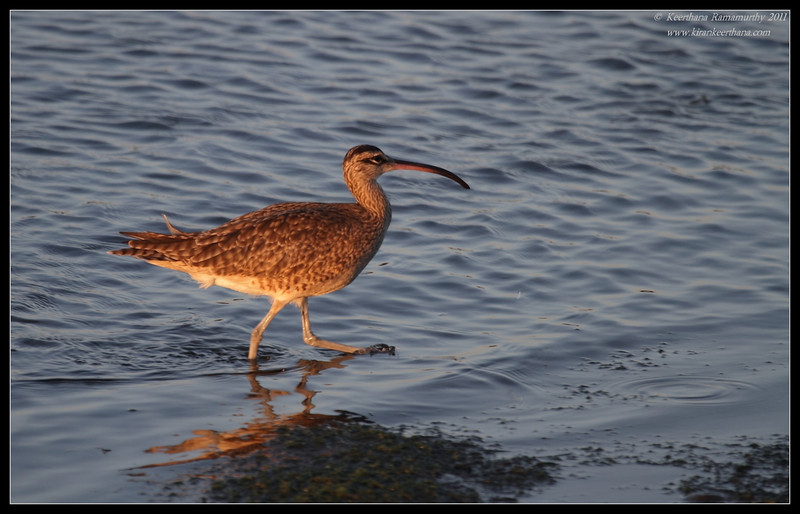Whimbrel in the setting sun, Robb Field, San Diego River, San Diego County, California, October 2011