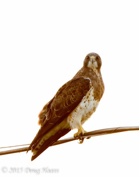 Swainson's Light Morph Adult female Hawk