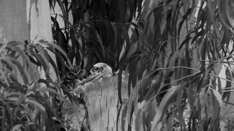 Among the animals three vignettes  Violin soundtrack by Julia Ogrydziak.  Siblings - Great Horned Owls. A small raspy call turned my head and I saw one of the little beige fuzz-balls peaking out from behind a branch. I visited off and on for three months and watched these comical and endearing owlets turn into owls. By late summer the owl siblings were beginning to separate from each other and stake out their own territories.  The way of the cat - Bobcats. I have spent a ridiculous amount of time looking for cats and here is a snippet of some of the bobcats I've seen. The most surprising sighting was two cats fighting in an eucalyptus tree. I heard growling from the trail, turning on the camera I went straight toward the sound. I caught a few seconds of two cats racing up the slippery bark, fighting as they spiraled up the tree. The aggressor was a big male and the other cat was half the size and had a young face. My guess is a teenage cat wandered into an adult male's territory and basically got the snot beat out of him.   Dark eyes of the forest - Northern Spotted Owls. Once I was clocked on the head by a Northern Spotted Owl. Unbeknownst to me at the time, these guys can dive bomb you. A message it sent and a message I received - a small superficial wound on my head from its talons. Ever since I have been fascinated with the ones with the spooky dark eyes!  -----  I made this brief video of wildlife footage and photo stills shot with Canon 7D and 500mm and GoPro.  music used: Violin by Julia Ogrydziak Night Voices from Paul Winter's Prayer for the Wild Things Night Song from Wilderness, Nature Reference Series
