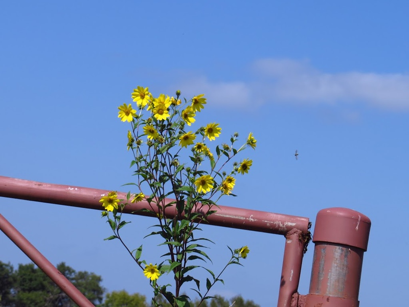 Wild Flowers Against an old Metal Gate