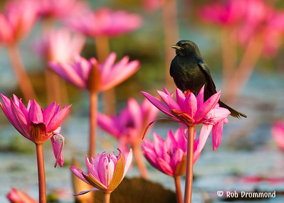 Asia - Birds