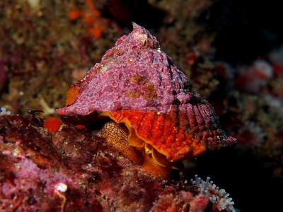 Lithopoma undosum (waby turban snail)
