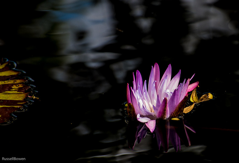 Pink Water Lily-1.jpg