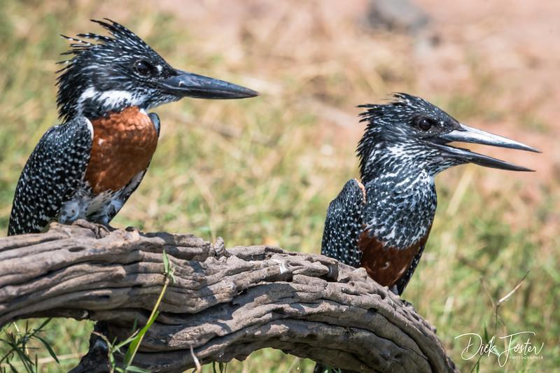 Giant Kingfishers