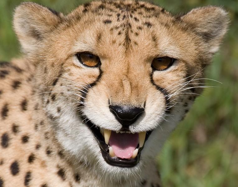 CheetahTeeth.jpg