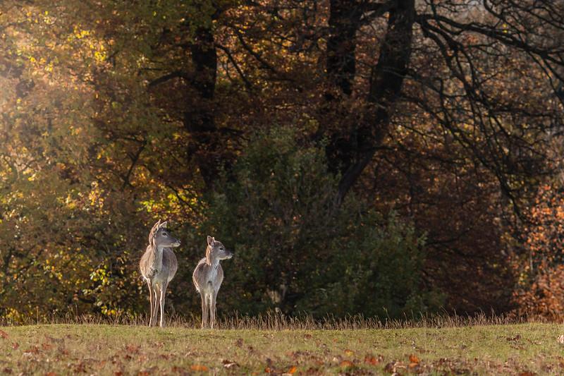 2019 - Deer at Knole Park November 009